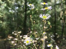 Free Flower, Plant, Flora, Aster Royalty Free Stock Photography - 112495227