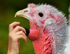 Free Beak, Domesticated Turkey, Galliformes, Close Up Royalty Free Stock Image - 112495296
