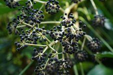Free Plant, Flora, Apiales, Subshrub Royalty Free Stock Photos - 112495638