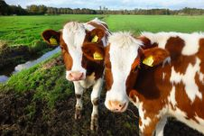 Free Cattle Like Mammal, Dairy Cow, Pasture, Cow Goat Family Stock Image - 112496051