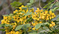 Free Plant, Flower, Shrub, Senna Royalty Free Stock Photography - 112496897