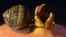 Free Snails And Slugs, Snail, Molluscs, Conchology Royalty Free Stock Photography - 112497187