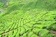 Free Tea Farm Valley In Cameron Highlands Royalty Free Stock Photography - 11250067