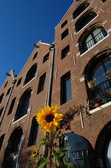 Free Amsterdam Sun Flower Stock Images - 11258824