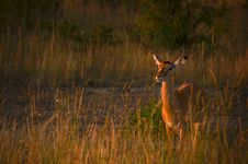 Free Photo Of Brown Deer During Sunset Stock Photography - 112565042