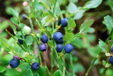 Free Plant, Berry, Bilberry, Blueberry Stock Photography - 112567732