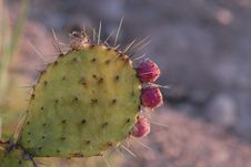 Free Thorns Spines And Prickles, Barbary Fig, Cactus, Nopal Stock Images - 112567844
