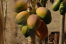 Free Fruit, Papaya, Fruit Tree, Produce Royalty Free Stock Image - 112567886