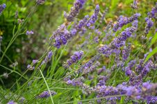 Free Plant, English Lavender, Lavender, Flower Stock Images - 112568064