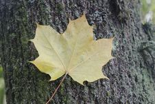 Free Leaf, Maple Leaf, Tree, Plant Stock Photography - 112568142