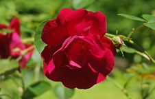 Free Flower, Rose Family, Rose, Floribunda Royalty Free Stock Photography - 112568307