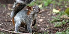 Free Squirrel, Mammal, Fauna, Fox Squirrel Royalty Free Stock Images - 112568389
