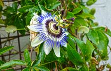 Free Flower, Plant, Passion Flower, Passion Flower Family Stock Image - 112568451