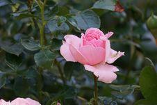 Free Rose, Flower, Rose Family, Pink Royalty Free Stock Photos - 112569128