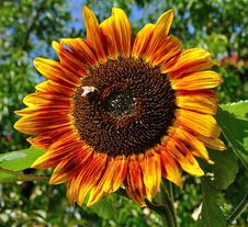Free Flower, Sunflower, Sunflower Seed, Flowering Plant Stock Photos - 112569333