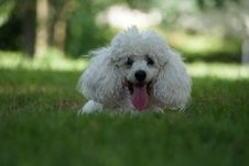 Free Dog Like Mammal, Dog Breed, Dog, Miniature Poodle Royalty Free Stock Photo - 112569445