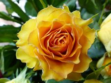 Free Flower, Rose, Yellow, Rose Family Stock Photography - 112569492