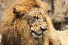 Free Lion, Wildlife, Terrestrial Animal, Masai Lion Stock Images - 112569884