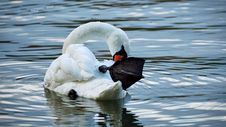 Free Bird, Swan, Water Bird, Ducks Geese And Swans Royalty Free Stock Photos - 112570368