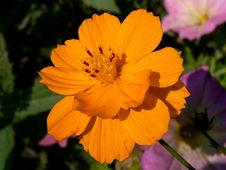 Free Flower, Yellow, Sulfur Cosmos, Garden Cosmos Royalty Free Stock Images - 112570539