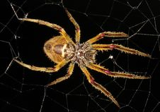 Free Spider, Arachnid, Orb Weaver Spider, Invertebrate Royalty Free Stock Images - 112571099