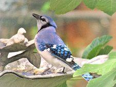 Free Bird, Fauna, Blue Jay, Jay Royalty Free Stock Photo - 112571795