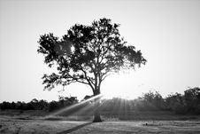 Free Tree, Black And White, Black, Woody Plant Royalty Free Stock Image - 112572236