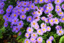Free Flower, Aster, Plant, Flowering Plant Royalty Free Stock Image - 112572416