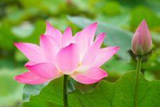 Free Flower, Lotus, Plant, Sacred Lotus Stock Photos - 112573023