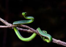 Free Reptile, Scaled Reptile, Snake, Serpent Stock Images - 112573204
