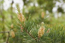 Free Tree, Vegetation, Pine Family, Conifer Royalty Free Stock Image - 112573326