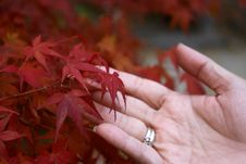 Free Leaf, Maple Leaf, Autumn, Close Up Royalty Free Stock Photo - 112589575