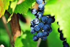Free Grape, Fruit, Grapevine Family, Bilberry Stock Image - 112589631