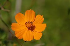 Free Flower, Yellow, Sulfur Cosmos, Garden Cosmos Stock Image - 112589641