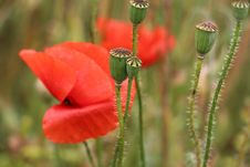 Free Flower, Poppy, Wildflower, Poppy Family Stock Photo - 112590240