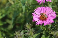 Free Flower, Nectar, Aster, Pollinator Stock Images - 112592184