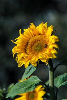 Free Flower, Sunflower, Yellow, Sunflower Seed Royalty Free Stock Image - 112593356