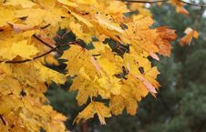 Free Leaf, Autumn, Yellow, Maple Leaf Stock Images - 112594634