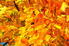 Free Yellow, Autumn, Leaf, Maple Leaf Royalty Free Stock Photography - 112595657