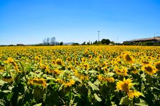 Free Bed Of Sunflowers Royalty Free Stock Photo - 112669585