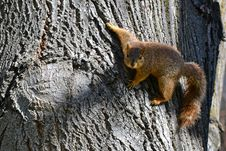 Free Brown Squirrel On Brown Slab Royalty Free Stock Photography - 112669647