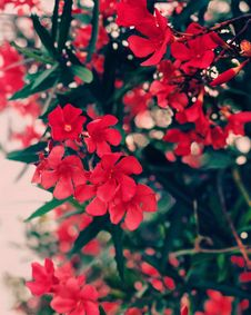 Free Red Cluster Flowers With Green Leaves Stock Images - 112669724