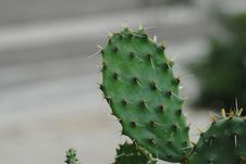 Free Cactus, Plant, Thorns Spines And Prickles, Nopal Stock Photography - 112677972