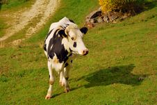 Free Cattle Like Mammal, Dairy Cow, Pasture, Grassland Royalty Free Stock Photos - 112678068
