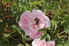 Free Rose Family, Flower, Rose, Pink Stock Image - 112678291