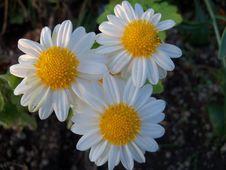 Free Flower, Oxeye Daisy, Chamaemelum Nobile, Daisy Family Royalty Free Stock Image - 112678306