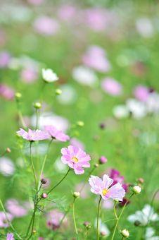 Free Flower, Flowering Plant, Plant, Garden Cosmos Stock Photos - 112678483