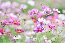 Free Flower, Garden Cosmos, Plant, Flowering Plant Royalty Free Stock Photos - 112678488