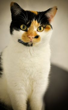 Free Cat, Whiskers, Small To Medium Sized Cats, Cat Like Mammal Royalty Free Stock Photo - 112678495