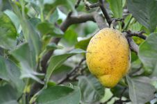 Free Fruit, Fruit Tree, Citrus, Produce Stock Photo - 112678540